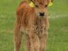 Kühe-Kälbhen