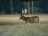 Damhirsch-Dama-Dama-fallow-deer