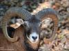 Muffelwild-Europäischer-Mufflon-Wildschaf-Schnecke-Mouflon