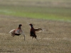 Fasan-Jagdfasan-Common-Pheasant-Phasianus-colchicus-Fasanenkampf