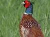 Fasan-Jagdfasan-Common-Pheasant-Phasianus-colchicus