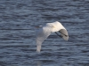 Silberreiher-Reiher-Great-Egret-Casmerodius-albus