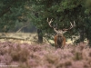 Rotwild-Rothirsch-Red-Deer-rutting-Season-Brunft-Hirschbrunft-Hooge-Veluwe