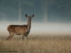 Rotwild-Red-Deer-fog
