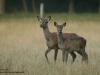 Rotwild-Red-Deer