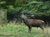 Rotwild-Rothirsch-Red-Deer-rutting-Season-Brunft-Hirschbrunft-röhren-Hirsch