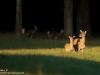 Rotwild-Red-Deer-