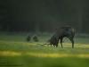 Rotwild-Rothirsch-Red-Deer-rutting-Season-Brunft-Hirschbrunft-forkeln