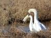 Schwan-Höckerschwan-Mute-Swan-Cygnus-olor-Paarung