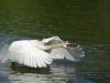 Schwan-Höckerschwan-Mute-Swan-Cygnus-olor