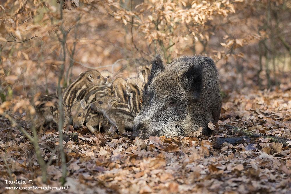 Wildschwein-Schwarzwild-Frischling-Wild-Boar-Sus-Scrofa-young-Boar