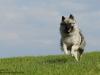Hundeshooting-Wolfsspitz