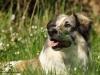 Hundeshooting-Kangal-Mischling