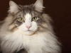 Studiofotografie-Katzen-im-Studio-Tierfotografie-Norwegische-Waldkatze