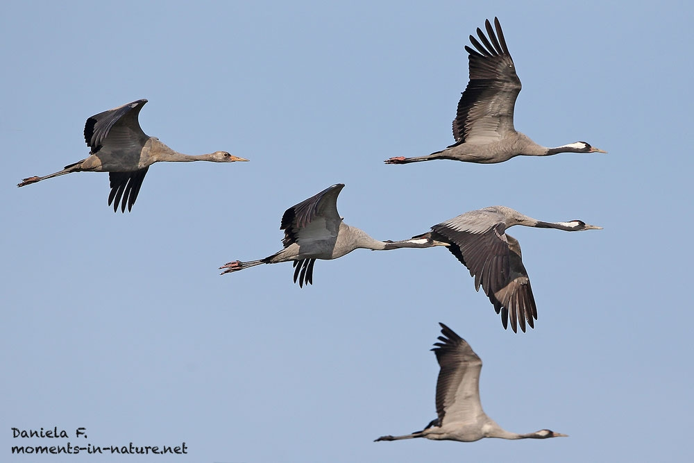 Kranich-Common-Crane-Grus-grus-Vögel-des-Glücks