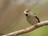 Kernbeisser-Hawfinch-Coccothraustes-Coccothraustes