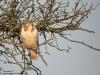 Bussard; Common Buzzard,