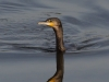 Kormoran-Great-Cormorant-Phalacrocorax-carbo